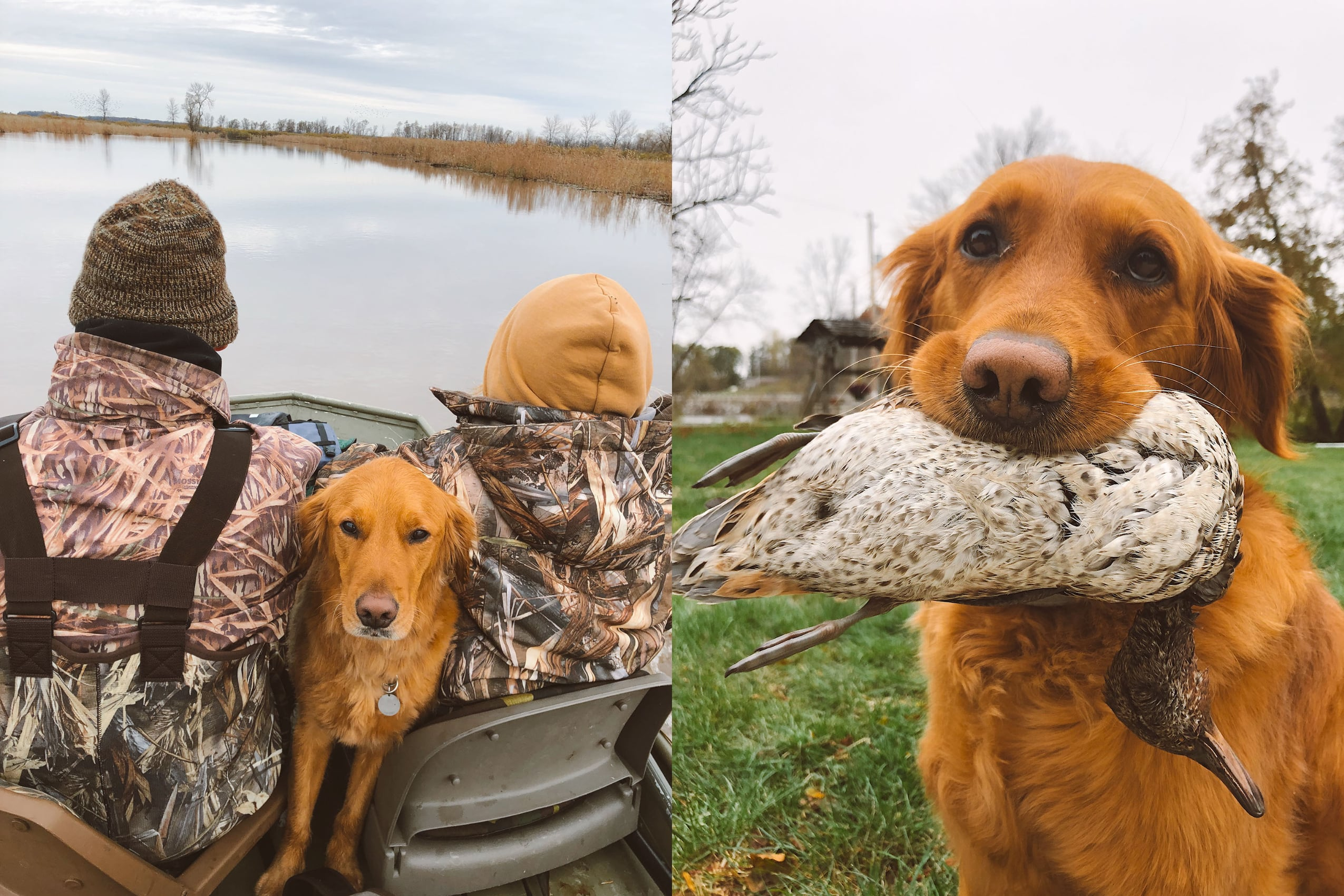A collage of two pictures of a Red Retriever dog going hunting
